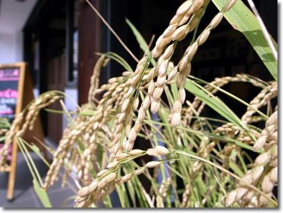 田植え後106日目の稲